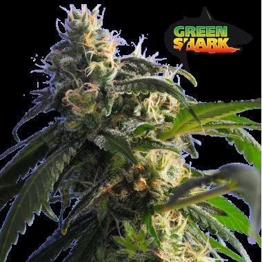 Green Shark fem