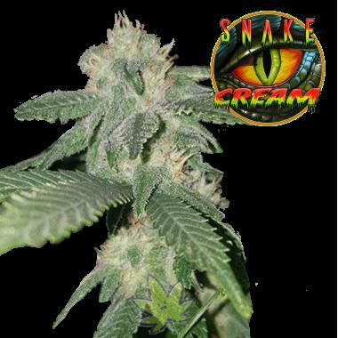 Snake Cream fem