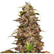 Big Altai Sativa Express fem