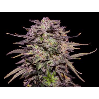 Purple Russian Express fem
